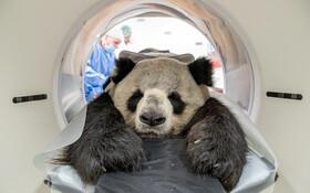 (تصاویر)پاندایی در باغ وحشی در آلمان در حال انجام سیتی اسکن