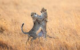 (تصاویر) جنگ یوزپلنگ ها در پارک ملی سرنگیتی در تانزانیا