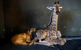 (تصاویر) دوستی سگ و توله زرافه ای در باغ وحشی در آفریقای جنوبی