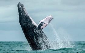 (تصاویر) نهنگ گوژپشت