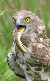 (تصاویر) عقابی در حال خوردن مار کبرایی که شکار کرده است