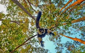 (تصاویر) میمون لامار در ماداگاسکار