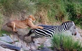 (تصاویر) تلاش یک شیر برای تامین غذا با شکار یک گور خر
