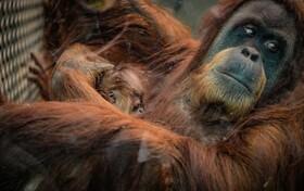 (تصاویر) تولد توله اورانگوتان در باغ وحشی در چستر انگلیس