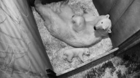 (تصاویر) خرس قطبی در کنار توله تازه متولد شده اش در باغ وحشی در اتریش