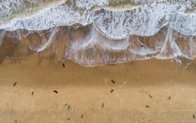 (تصاویر) شیرهای دریایی در کنار ساحل
