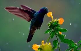 (تصاویر) مرغ مگس خواری در حال پرواز و تغذیه