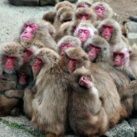 (تصاویر) میمون ها در کنارهم برای گرم کردن خود در پارکی در ژاپن