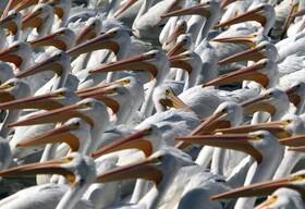 (تصاویر) پلیکان های سفید در دریاچه ای در مکزیک