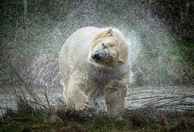 (تصاویر) خرس قطبی جدید در باغ وحشی در یورکشایر انگلیس به نمایشی گذاشته است