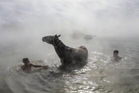 (تصاویر) دامداران در باداکالی ترکیه گاوها و اسب های خودرا در زمستان در چشمه آب گرم می شورند