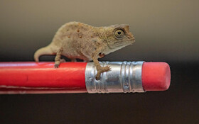 (تصاویر) تصویری از یک مارمولک چاملون بسیار کوچک در باغ وحشی در انگلیس