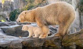 (تصاویر) خرس قطبی تازه متولد شده در کنار مادرش در باغ وحشی در وین اطریش