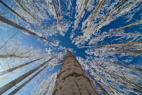 (تصاویر) درخت های یخزده