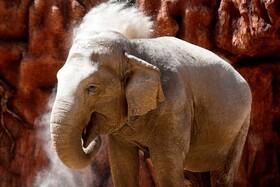 (تصاویر) فیل آسیایی در تولد پنجاه و نه سالگی در باغ وحشی در گواتمالا