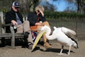 (تصاویر) بازی پلیکانی در پارکی در لندن