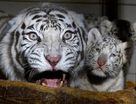(تصاویر) تولد سه توله ببرسفید در باغ وحشی در فرانسه
