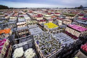 (تصاویر) از بین بردن گلهایی که برای صادرات تولید شده اند ولی به دلیل کرونا صادر نشده در هلند