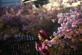 (تصاویر) شکوفه های گیلاس در کیوتو ژاپن