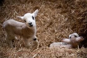 (تصاویر) توله های گوسفند در دامداری در انگلیس
