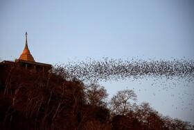 (تصاویر) خفاش هایی که از غاری در تایلند خارج شده اند
