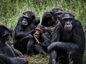 (تصاویر) شامپانزه های در پارکی در جمهوری کنگو