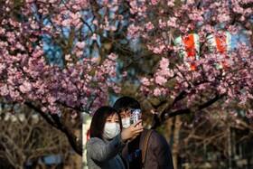 (تصاویر) شکوفه های گیلاس در توکیو