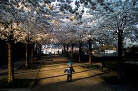 (تصاویر) کودکی در پارک شکوفه های گیلاس در پاریس فرانسه