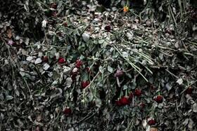 (تصاویر) گل های رزی که در کنیا تولید شده و به دلیل شیوع کرونا امکان صادرات به اروپارا نیافتند
