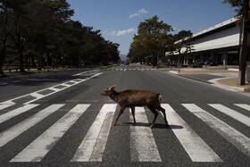(تصاویر) گوزنی در شهرنارا در ژاپن