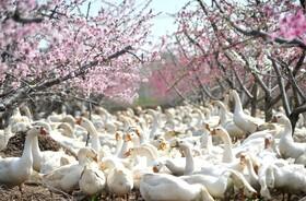 (تصاویر) غازچرانی در جینگسو در چین