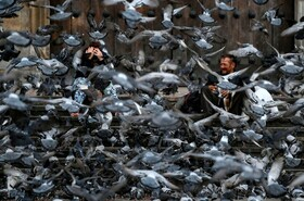 (تصاویر)به دلیل کاهش تردد و خارج نشدن مردم از خانه کبوترها در میدان بولیوار بوگوتای کلمبیا به امید دریافت غذا به هر رهگذری نزدیک می شوند