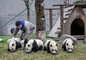 (تصاویر) باغ وحشی در سیچوان چین که نگهبانی به خرس های پاندا غذا می دهد