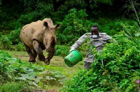 (تصاویر) حمله کرگدن به نگهبان پارک که برایش غذا ریخته در اوگاندا