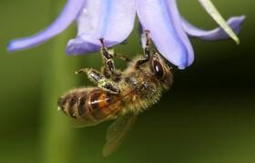 (تصاویر) زنبور عسل در حال کار