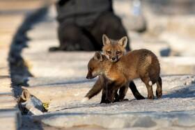 (تصاویر) توله های روباه در حال بازی