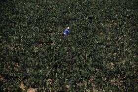 (تصاویر) مزرعه پرورش نوعی کاکتوس خوراکی در مکزیک