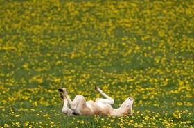 (تصاویر) بچه گوزنی در حال بازی در هوای بهاری