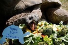 (تصاویر) چشن تولد صد سالگی لاکپشت باغ وحش فرخ یالچین در داریکادر ترکیه