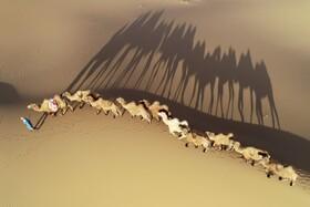(تصاویر) شترچرانی در صحرایی در  چین