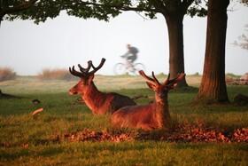 (تصاویر) گوزنی در پارکی که افراد دوچرخه سواری و ورزش می کنند