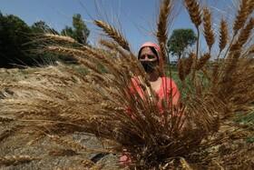 (تصاویر) برداشت گندم در هند