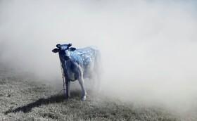 (تصاویر) پاشیدن شیر در محوطه ای در بلژیک در تظاهرات دامداران علیه بحران قیمت مواد لبنی در این کشور