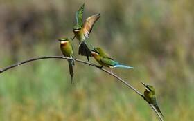 (تصاویر) پرنده زنبور خوار دم آبی
