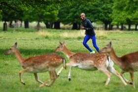 (تصاویر) تمرین قهرمان انگلیسی المپیک مو فرح در کنار گوزن ها  برای تمرین و آمادگی برای مسابقات دو