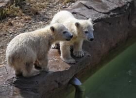 (تصاویر) توله خرس های قطبی تازه متولد شده در باغ وحشی در فرانسه