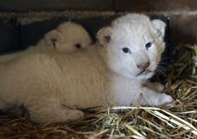 (تصاویر) تولد دو توله شیر سفید در باغ وحشی در قبرس