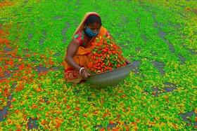 (تصاویر) خشگ کردن  یک نوع تنقلات هندی رنگی