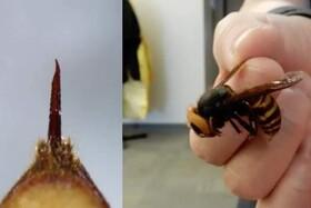 زنبورهای قاتل، نگرانی بعدی جهان پس از کرونا