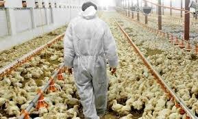 گیر کردن پشت چراغ  کنترل قیمت مرغ